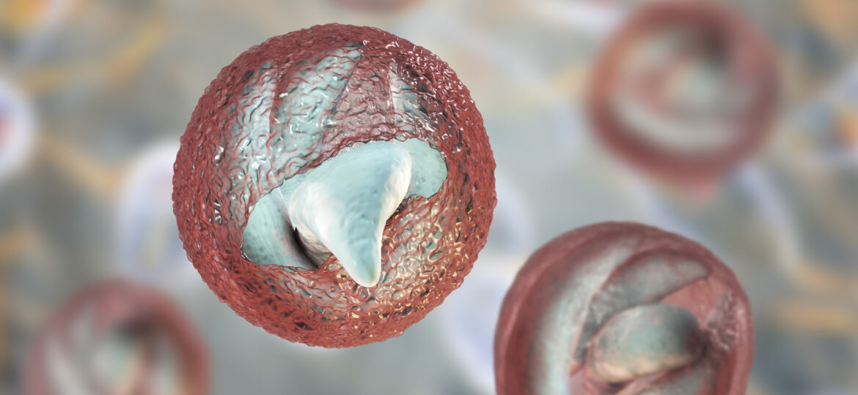 Cryptosporidium parvum oocyst releasing sporozoites